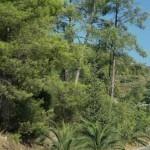 bor sosnowy z palmą